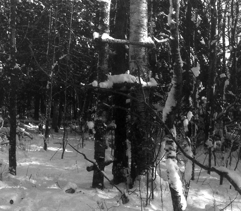 Black and white photo of an early platform treestand, about 6 feet off the ground, made between a trio of trees.